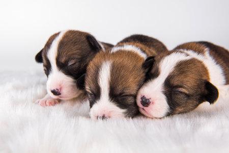 Pembroke Welsh Corgi pembroke puppies on white 版權商用圖片
