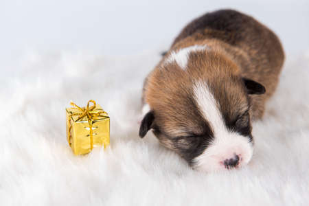 Small Pembroke Welsh Corgi puppy dog with gift 版權商用圖片