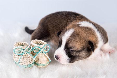 Small Pembroke Welsh Corgi puppy dog with shoes 版權商用圖片