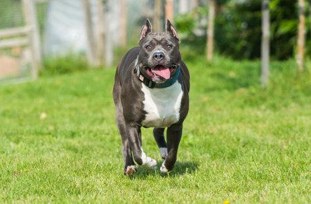 cute Blue hair American Staffordshire Terrier dog