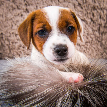 Cute funny Jack Russell Terrier dog puppy is playing in fur