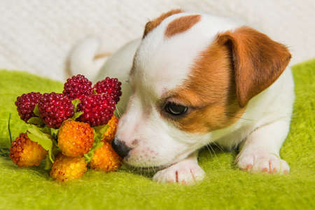 Funny Jack Russell Terrier dog puppy are lying with berries