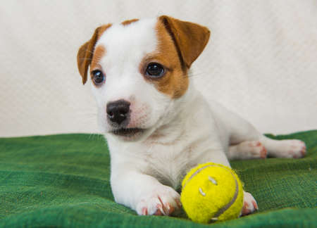 Dog Jack Russel terrier playing with tennis ball. 版權商用圖片