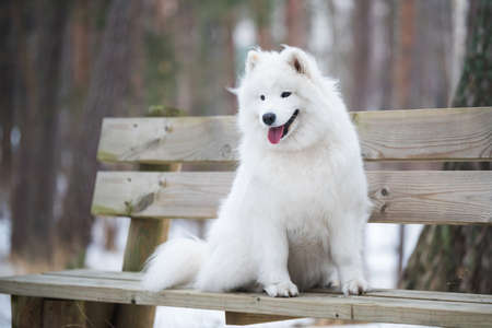 Samoyed white dog is sitting in the winter forest on a bench
