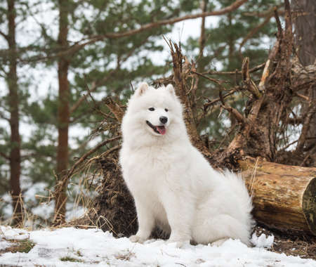 Samoyed white dog is looking into the distance.