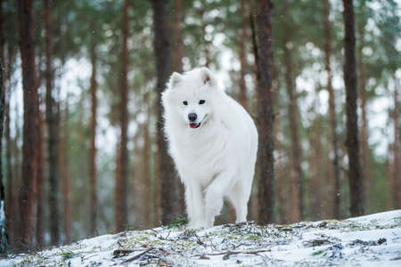 Samoyed white dog is sitting in the winter forest 版權商用圖片