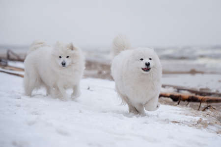 Two Samoyed white dogs are running on snow beach in Latvia 版權商用圖片