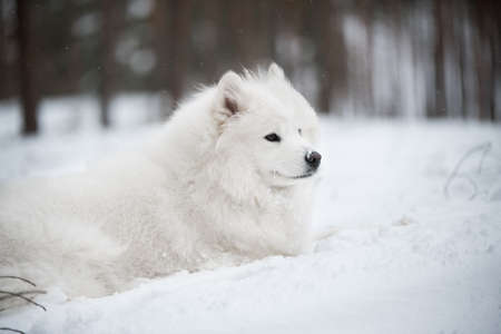 Beautiful fluffy Samoyed white dog is in the winter forest
