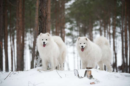 Beautiful fluffy two Samoyed white dogs is in the winter forest