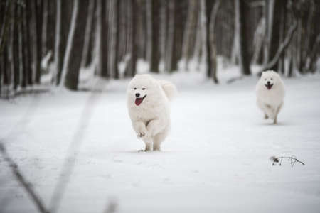 Two Samoyed white dogs are running on snow outside 版權商用圖片