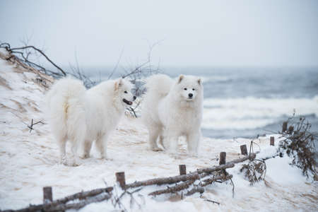 Two Samoyed white dogs are on snow sea beach in Latvia 版權商用圖片