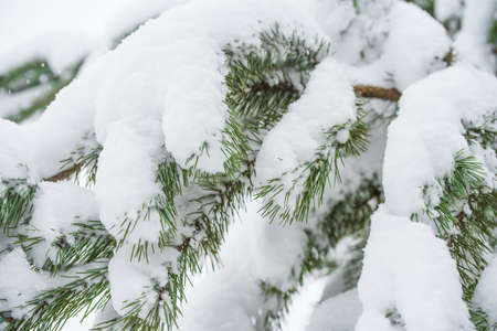 Branches of a fir Christmas tree in the snow in the winter forest 版權商用圖片