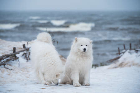 Two Samoyed white dogs are on snow sea beach in Latvia Stock fotó