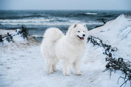 Nice Samoyed white dog is on snow sea beach in Latvia