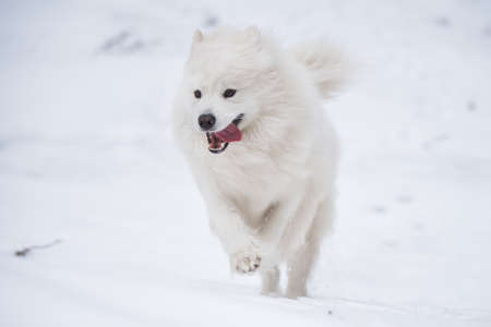 Samoyed white dog is running on snow outside