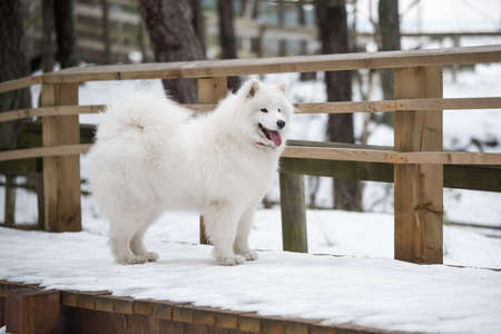 Samoyed white dog is on snow path road in Latvia