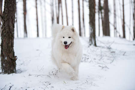Samoyed white dog is sitting in the winter forest Stock fotó
