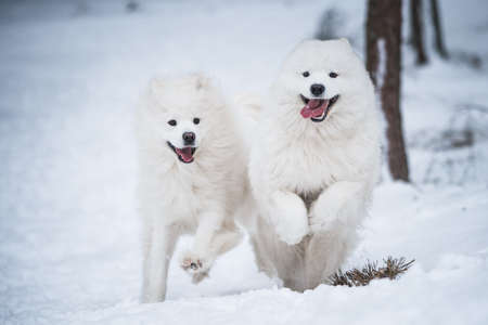 Beautiful fluffy two Samoyed white dogs is playing in the winter forest Stock fotó