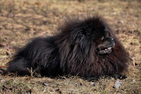 Big fluffy Chow Chow dog is on the dry grass. Dog breed originally from China