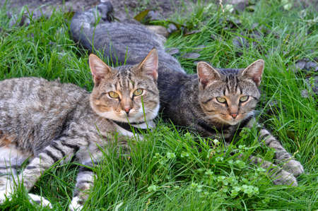 Two funny tabby cats lying on green grass, spring.