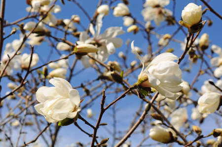 White magnolia flowers against the sky outside
