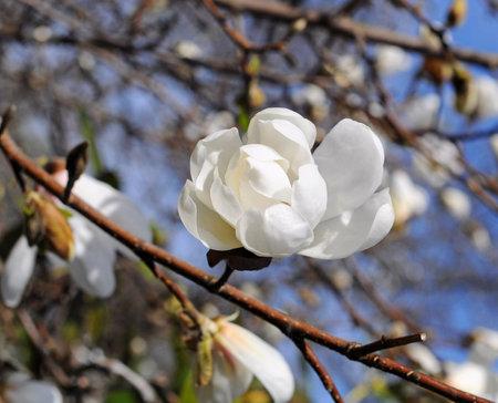White magnolia flower against the sky close-up Stock fotó