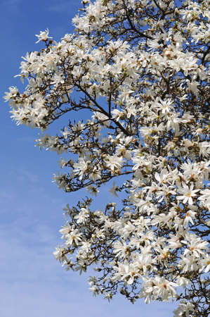 White magnolia tree flowers background against the sky