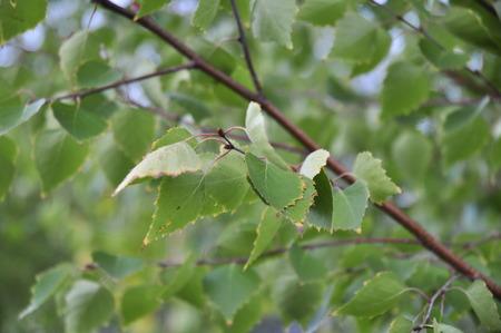 twig: birch twig Stock Photo