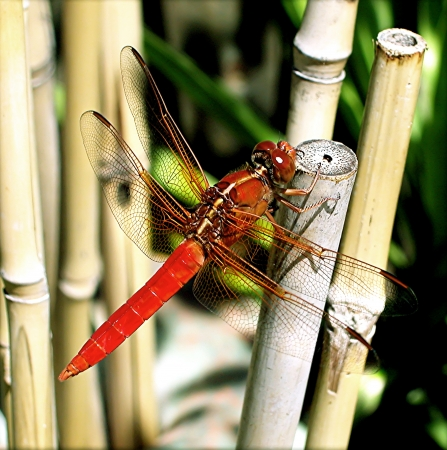 Red Dragonfly on Bamboo