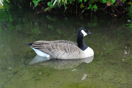 Single Canada goose and reflection in shallow pond  photo