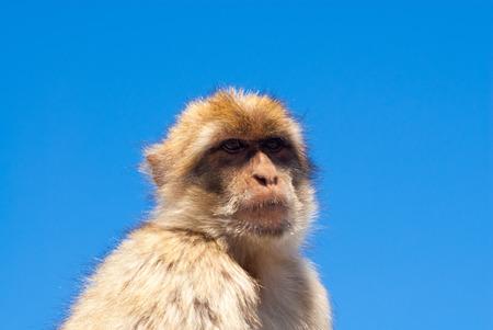barbary ape: Head of barbary ape against clear blue sky