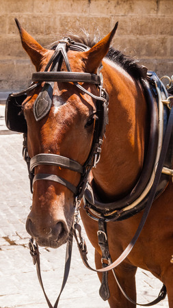 blinders: Head of brown horse with blinders and harness