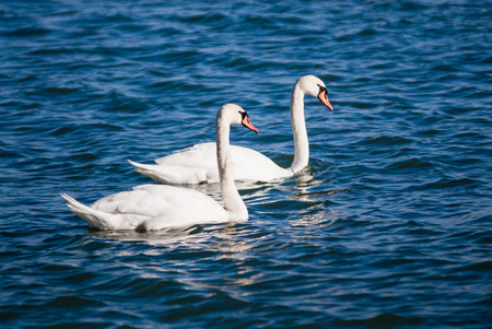 Pair of mute swans on wavy water  photo