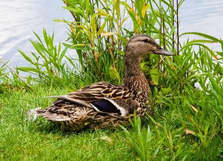 facing right: Female smiling mallard duck sitting on grass by water facing right.
