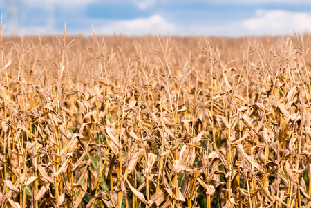 Dry brown corn stalks against blurred field and sky. photo