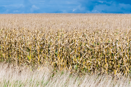 Drying brown and green corn stalks receding into large corn field against dark sky. photo