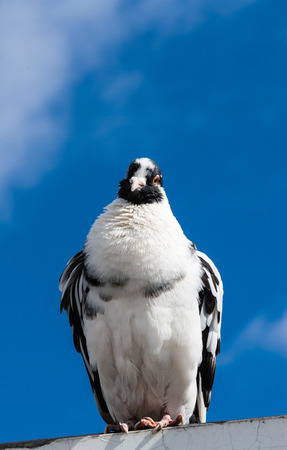 Black and white pigeon facing forward with cocked head standing against blurred blue sky.