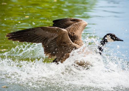 water wings: One Canada Goose landing in water with raised wings moving right causing big splash and waves against green water.