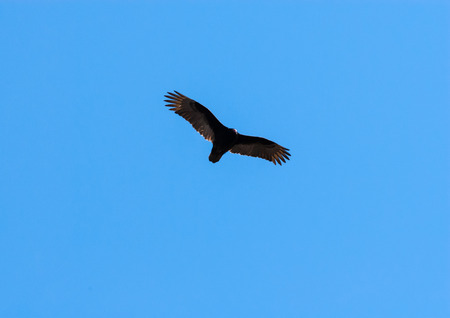 turkey vulture: One turkey vulture soaring in flight with wings stretched out and illuminated against clear blue sky. Stock Photo