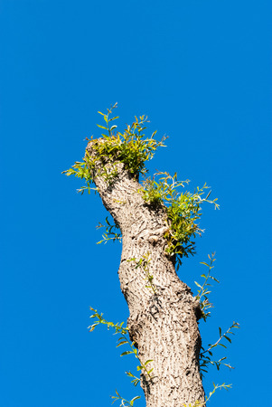 pollard willows: Pruned pollarded willow tree with new branches starting to grow, against clear blue sky.