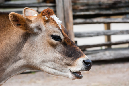 jersey cow: Close-up of young jersey cow head and face with mouth open as if talking, against blurred fence in background.
