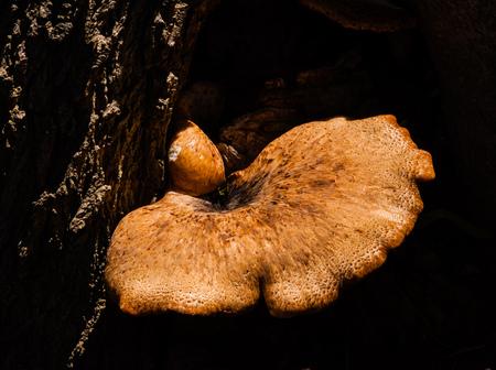 parasitic: Parasitic brown mushroom illuminated by sunlight growing out of dark tree bark in shadows. Stock Photo