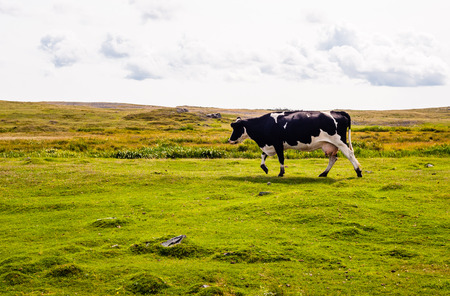 Black and white cow walking left on green meadow under overcast cloudy sky.