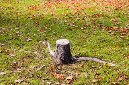 short cut: Single short cut tree stump and roots on green grass and dry autumn leaves.