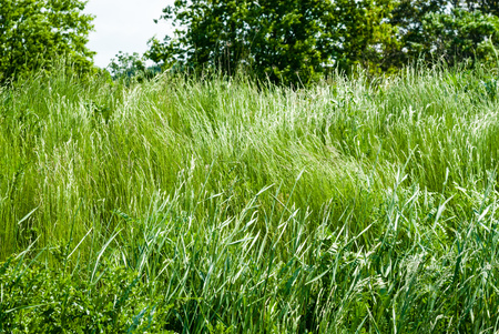 swaying: Tall green wild grass swaying and waving in wind against trees.