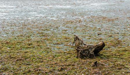 Dead tree stump sinking in large muddy swamp covered in algae and seaweed.