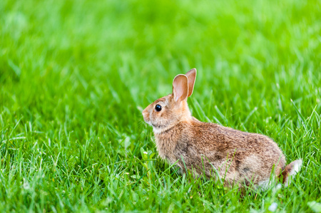 Focus on wild rabbit standing in tall green grass.