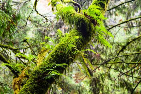 Wet tree overgrown with lush green ferns and moss in rainforest in British Columbia, Canada. Stock fotó