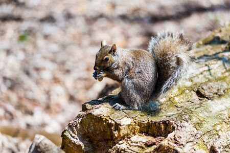 Gray squirrel sitting on log holding nut in paws, in Ontario, Canada.