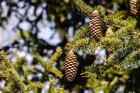 Conifer cones hanging off tree branches.